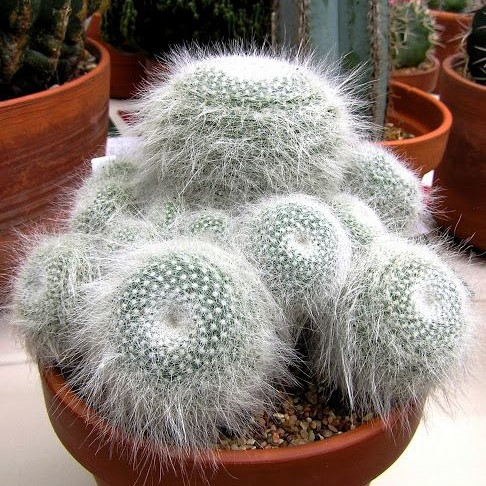Rare Cactus seeds, mammillaria hahniana rare succulent seeds, bonsai flower seeds, indoor plant – 10 pcs/pack