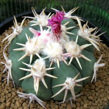 Rare Cactus seeds, Echinocactus texensis Hopffer rare succulent seeds, bonsai flower seeds, indoor plant – 10 pcs/pack