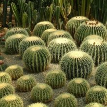Cute Echinocactus Grusonii Seeds, Cactus Seeds, 100pcs/pack