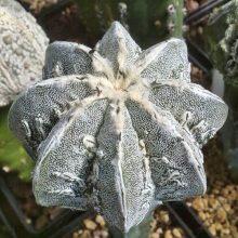 Rare Cactus Seeds, Astrophytum Ornatum Seeds, 200 pcs/pack