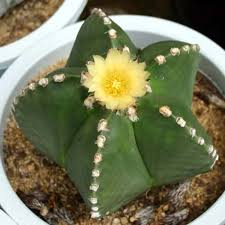 Rare Cactus Seeds, Astrophytum Ornatum Seeds, 200 pcs/pack