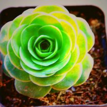 200pcs Mixed Succulent Plant Seeds Lithops Ass Flower Seeds Potted Mini Bonsai For Home Garden Supplies High Germination Rate