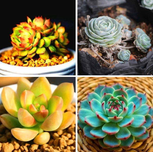 200pcs Mixed Succulent Plant Seeds Lithops Ass Flower Seeds Potted Mini Bonsai For Home Garden Supplies High Germination Rate