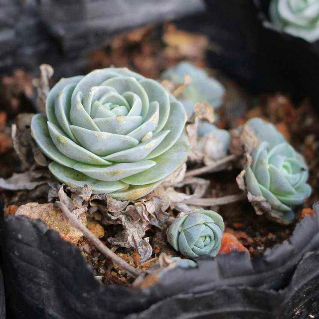 100pcs Mixed Color Succulent Seeds Mini Bonsai Lithops Flower Seeds for Home Garden Plants Supplies Easy to grow Best packaging