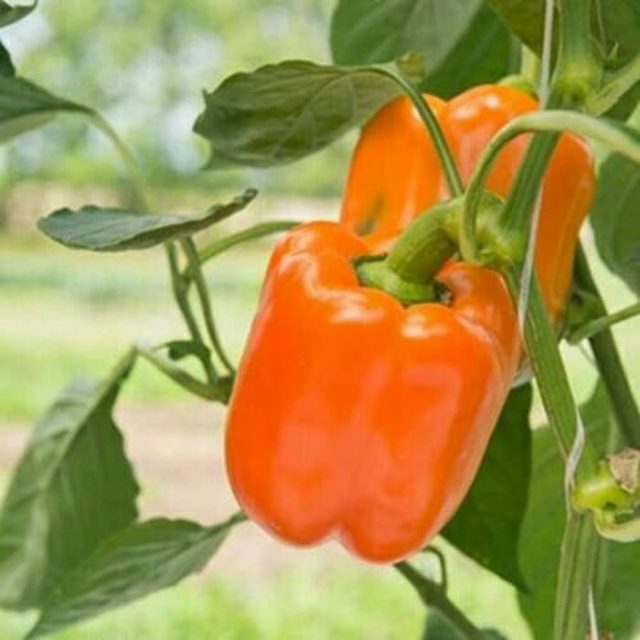 Organic Rainbow Bell Pepper Seeds, 100pcs/pack