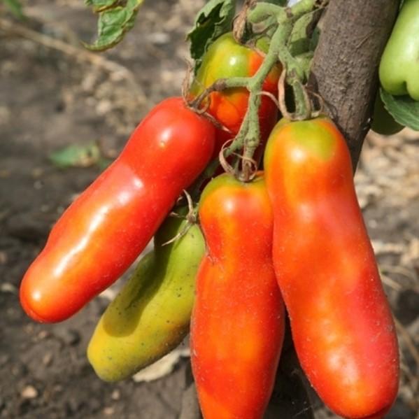 Rare Tomato Seeds Zabava, 100pcs/pack