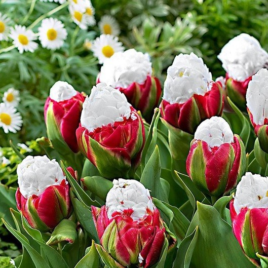 Rare Cabbage Tulip Seeds, 100pcs/pack