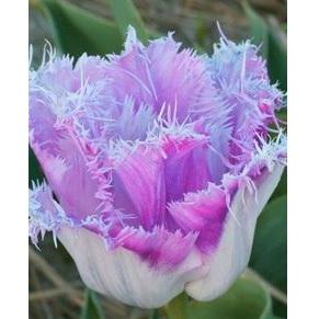 24 Varieties Tulip Seed, 100pcs/pack