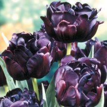 Perfume Tulip Seeds, 100pcs/pack