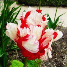 Double Petals Tulip Seeds, 100pcs/pack