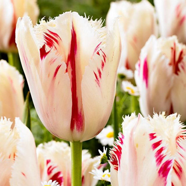 Perfume Tulip Seeds, 100pcs/pack