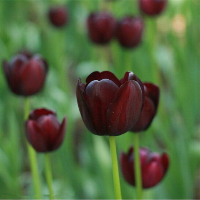 1pcs Turkey Didier's Tulip Bulbs