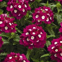 Verbena Flower Seeds, 100pcs/pack
