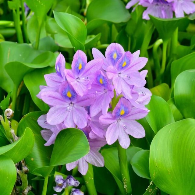50 Particle / bag Best Germinate Lotus Seeds New Live Water Hyacinth Floating Pond Aquarium Seeds Lotus Fissidens Fontanus