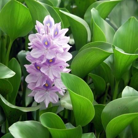 50 Particle / bag Best Germinate Lotus Seeds New Live Water Hyacinth