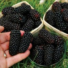 Giant Blackberry Seeds, 200pcs/pack