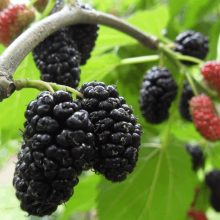 Blackberry Seeds, 200pcs/pack