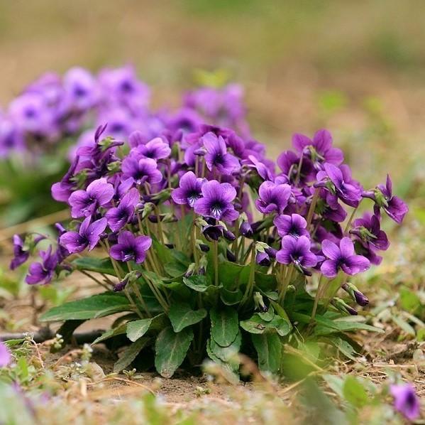 Bush Violet Seeds, Browallia Speciosa Seeds, 50pcs/pack