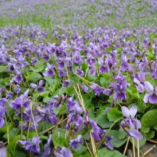 Bush Violet Seeds, Browallia Speciosa Seeds, 50pcs/pack