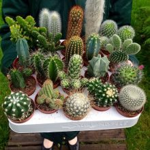 200pcs mixed cactus seeds Real Prickly pear succulent plant seeds Lithops bonsai planting for DIY home garden supplies potted