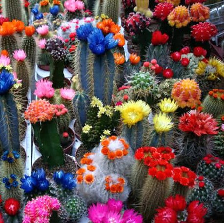 100pcs/bag Mixed Rainbow Cactus Seeds Colorful Succulents Bonsai Flower Seeds Perennial Plants for Home Garden Best packaging