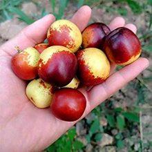 Camu Camu Seeds,  Myrciaria Dubia Seeds, Fruit Seeds, 10pcs/pack