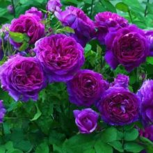 Mixed Climbing Rose Seeds, Colorful Rose Flower Seeds, 100pcs/pack