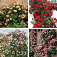 Multi-Color Climbing Rose Seeds, 100pcs/pack