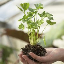 Coriander Seeds, Parsley Aroma Seeds, 100pcs/pack