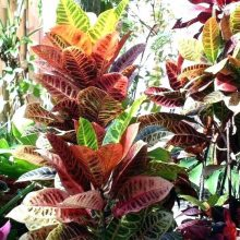 Croton Petra Seeds, 100pcs/pack