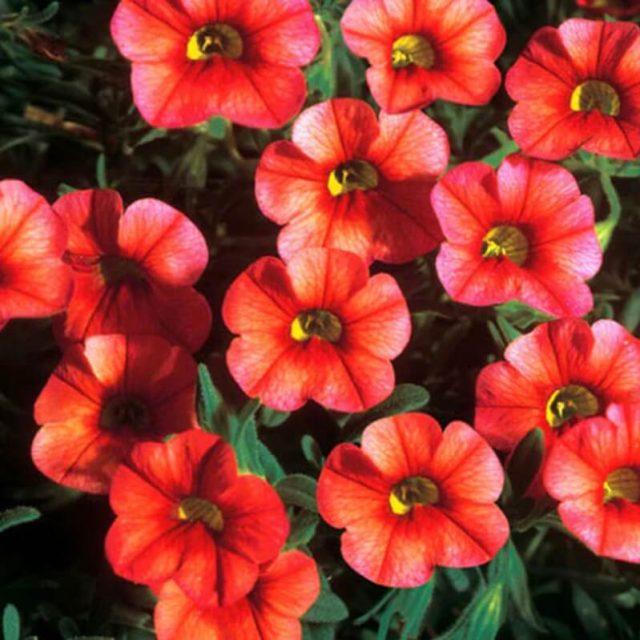 Double Petals Petunia Seeds, 100pcs/pack