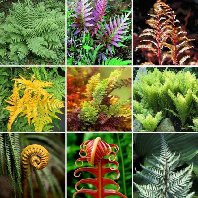 Multi-Varieties Fern Seeds, 100pcs/pack