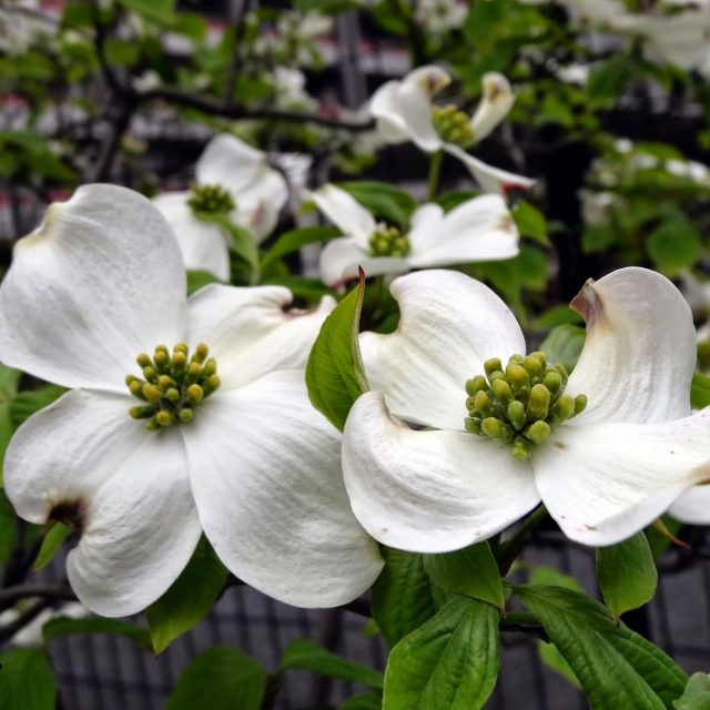 Kousa Dogwood Seeds, 20pcs/pack