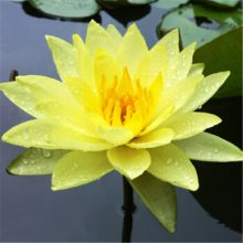 10pcs/bag lotus flower lotus seeds Aquatic plants bowl lotus water lily seeds Perennial Plant for home garden.