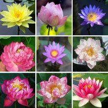 Multi-Varieties Lotus Seeds, Water Lily Seeds, 10pcs/pack