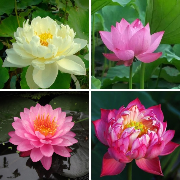 10pcs/bag lotus flower lotus seeds Aquatic plants bowl lotus water lily seeds Perennial Plant for home garden