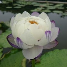 Rare Water Lily Flower Seeds, Lotus Seeds, 10pcs/pack
