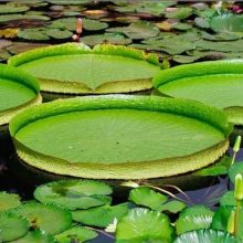 Victoria lotus leaf seeds Giant waterLily flower seeds Real aquatic plants for spring home pond supplies Best packaging 10pcs