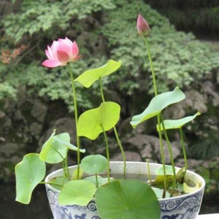 Beautiful Lotus Seeds, Water Lily 10/bag