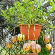 Mini Sweet Melon Seeds, 50pcs/pack