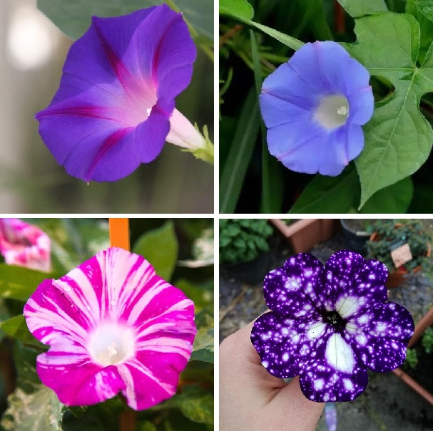 9 Varieties Morning Glory Flower Seeds, Rare Galaxy Morning Glory, 50pcs/pack
