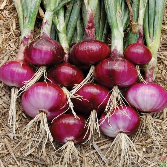 Giant Onion Seeds, Organic Vegetables Seeds, 100pcs/pack