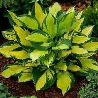 Colorful Hosta Seeds, Indoor Bonsai Seeds, 100pcs/pack