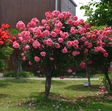 100pcs/bag rose tree,rose seeds,bonsai tree flower seeds,rose tree plant Balcony & Yard potted for home garden