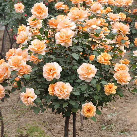 Mixed Rose Tree Seeds, Red/Yellow/Pink/Orange/White, 50 pcs/pack