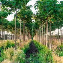 Paulownia Elongata Tree Seeds, 100seeds/pack