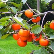 Persimmon Fruit Seeds, 20pcs/pack