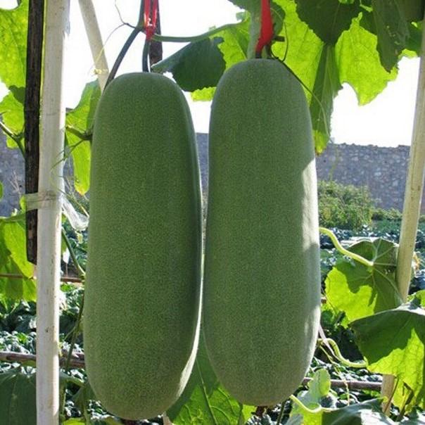Giant Winter Melon Seeds, 20pcs/pack