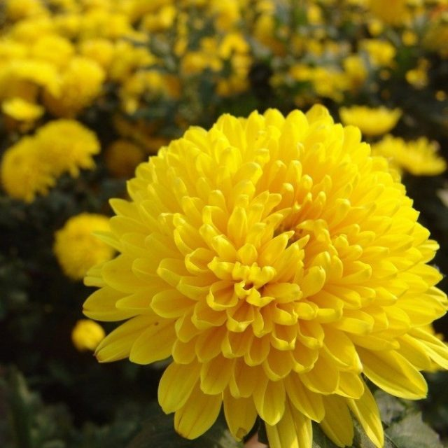 Marigold Seeds, Chrysanthemum Seeds, 100pcs/pack