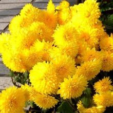 Yellow Marigold Seeds, Chrysanthemum Seeds, 100pcs/pack